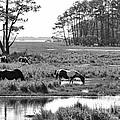 Wild Horses Of Assateague Feeding by Dan Friend