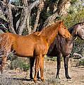Wild Horses Of Joshua Tree by Wolfgang Hauerken
