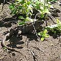 Wild Iguana Finding Shade 2 by Joe Wyman
