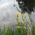 Wild Iris By The Pond by Ausra Huntington nee Paulauskaite