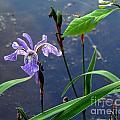 Wild Iris by Lili Feinstein