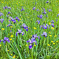 Wild Iris Patch by Alan L Graham