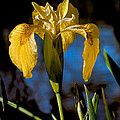 Wild Iris by Robert Bales