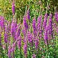 Wild Lavender Flowers by Jeanette Oberholtzer