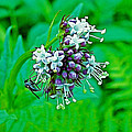 Wild Mint On Great Glacier Trail In Glacier National Park-british Columbia by Ruth Hager