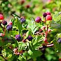 Wild Mountain Berries by Carolyn Krek