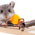 Wild Mouse And Mousetrap With Cheese Close Up Isolated by Cindy Singleton