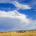 Wild Mustang Herd Grazing by Rich Franco