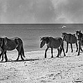 Wild Mustangs Of Shackleford by Betsy Knapp