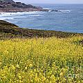 Wild Mustard At The Shore by Stuart Gordon