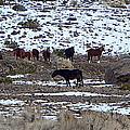 Wild Nevada Mustangs by Bobbee Rickard