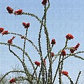 Wild Ocotillo In Bloom by Tom Janca
