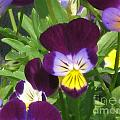 Wild Pansies Or Johnny Jump-ups 1 by Conni Schaftenaar
