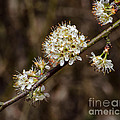 Wild Pear by Donna Brown
