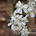 Wild Plum Blooms by Deanna Cagle