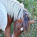 Wild Ponies Of Assateague 21 by Kim Bemis