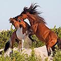 Wild pony fight