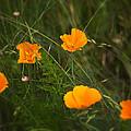 Wild Poppies by Belinda Greb