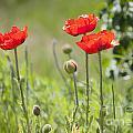 Wild Poppies by Idaho Scenic Images Linda Lantzy
