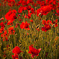 Wild Poppies by Kevin Marston