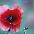 Wild Poppy by Eti Reid