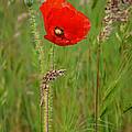 Wild Poppy by Nikolyn McDonald
