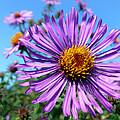 Wild Purple Aster by Christina Rollo