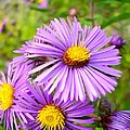 Wild Purple Asters by Cynthia Woods
