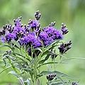 Wild Purple by Bonfire Photography