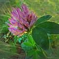 Wild Red Clover Blossom by Joyce Dickens