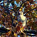 Wild Red Tail Hawk by Kandids By Katy