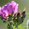 Wild Rose by Ann E Robson