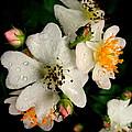 Wild Rose by Mim White
