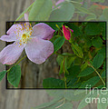 Wild Rose Out Of Bounds 1 by June Hatleberg Photography