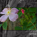 Wild Rose Out Of Bounds 2 by June Hatleberg Photography