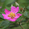 Wild Rose by Reva Dow