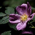 Wild Rose by Rona Black