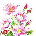 wild Rose by Virginia Ann Hemingson