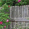 Wild Roses And Weathered Fence by Barbara Griffin