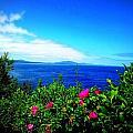 Wild Roses by Dancingfire Brenda Morrell