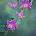 wild roses by Priska Wettstein