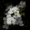 Wild Roses by TN Fairey