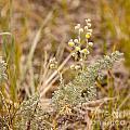 Wild Sage Wormwood Artemisia Figida Yellow Flower by Stephan Pietzko