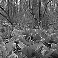 Wild Skunk Cabbage Bw by Sara  Raber