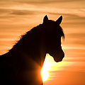 Wild Stallion At Sunrise by Carol Walker