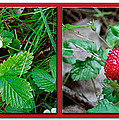 Wild Strawberry Plant - Fragaria Virginiana by Mother Nature