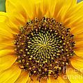 Wild Sunflower by Mae Wertz