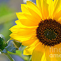 Wild Sunflower by Nadalyn Larsen