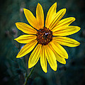 Wild Sunflower by Robert Bales
