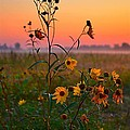 Wild Sunflowers At Dawn by Julie Dant